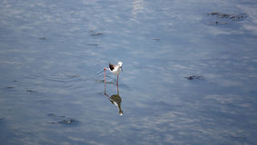 Black-winged Stilt (Himantopus himantopus). Royalty Free Stock Photography