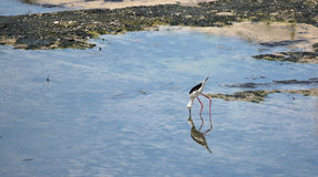 Black-winged Stilt (Himantopus himantopus). Stock Images