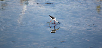 Black-winged Stilt (Himantopus himantopus). Royalty Free Stock Photos