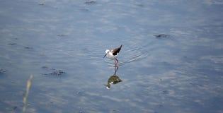 Black-winged Stilt (Himantopus himantopus). Royalty Free Stock Image