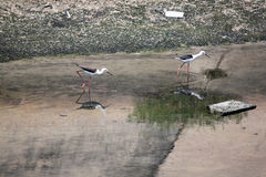 Black-winged Stilt (Himantopus himantopus). Stock Image