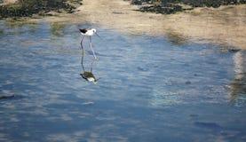 Black-winged Stilt (Himantopus himantopus). Royalty Free Stock Images