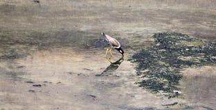 Black-winged Stilt (Himantopus himantopus). Stock Image