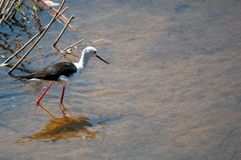 Black - winged stilt (Himantopus himantopus) Stock Images