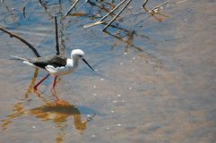 Black - winged stilt (Himantopus himantopus) Royalty Free Stock Photo
