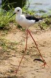 Black-winged stilt (Himantopus himantopus). In Kruger National Park, South Africa stock photo