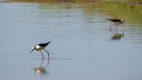 Black-winged Stilt Himantopus Himantopus. Las Salinas San Fernando Spain stock images