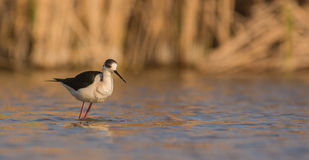 Black-winged Stilt. A Black-winged Stilt (Himantopus himantopus)  leans forward looking for food in the shallow waters of a lagoon Royalty Free Stock Photos