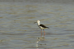 Black-winged stilt / Himantopus himantopus Stock Image
