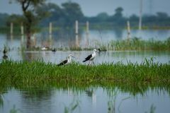 Black-winged stilt Himantopus himantopus pair in a  scenic blue background at keoladeo national park. Black-winged stilt Himantopus himantopus pair in a blue royalty free stock photos