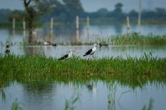 Black-winged stilt Himantopus himantopus pair in a  scenic blue background at keoladeo national park. Black-winged stilt Himantopus himantopus pair in a blue royalty free stock photo