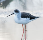 Black-winged Stilt (Himantopus himantopus) Stock Photos