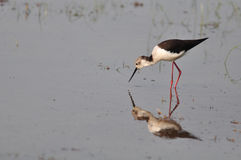 Black-winged Stilt (Himantopus himantopus) Royalty Free Stock Photo