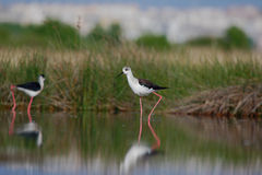 Black winged stilt (himantopus himantopus). Stock Photos
