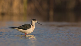 Black-winged Stilt. A Black-winged Stilt (Himantopus himantopus)  uses it's long legs to wade through shallow waters in search of food Stock Photography