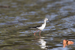 Black-winged Stilt (Himantopus himantopus). Wading Stock Image