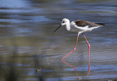 Black-winged stilt. (Himantopus himantopus) wading through water Stock Image