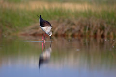 Black winged stilt (himantopus himantopus). Royalty Free Stock Photos
