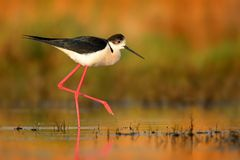 Black-winged Stilt - Himantopus himantopus. Walking in the water and feeding royalty free stock photos