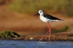 Black-winged Stilt - Himantopus himantopus. Walking in the water and feeding stock images