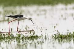 Black-necked Stilt exploring for food royalty free stock photo