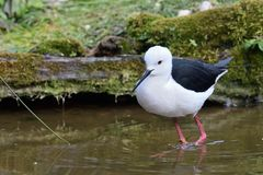 Black winged stilt himantopus himantopus. Portrait of a black winged stilt himantopus himantopus standing in the water royalty free stock images