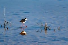 Black-winged stilt or Himantopus himantopus walks in water. Black-winged stilt or Himantopus himantopus in water stock photo