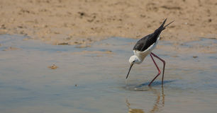 Black-winged Stilt. A Black-winged Stilt ( Himatopus himantopus) hits the water surface of a shallow lagoon to catch invertebrates, fishes or amphibians Royalty Free Stock Images