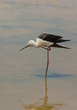 Black-winged Stilt. A Black-winged Stilt ( Himatopus himantopus) takes care of it's plumage standing on one leg in the shallow waters of a lagoon in northeastern Stock Photo
