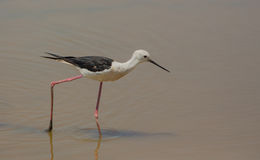 Black-winged Stilt. A Black-winged Stilt ( Himatopus himantopus) walks on it's long legs in a shallow lagoon to catch invertebrates, fishes or amphibians Stock Image