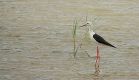 Black-winged Stilt at a lagoon with grass Royalty Free Stock Images