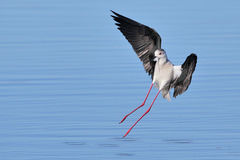 Black Winged Stilt landing in water Stock Photos