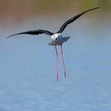 Black Winged Stilt landing in water. Photographed near Cape Town in South Africa Royalty Free Stock Photography