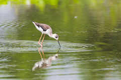 Black-winged Stilt looking for food. Looking for food - Black-winged Stilt Royalty Free Stock Photo