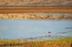 Black winged stilt looking for food Royalty Free Stock Image