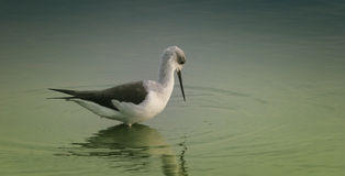 Black-winged Stilt. Making ripples in the water Stock Photos