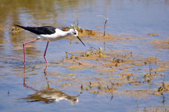 Black-winged Stilt in the marsh Royalty Free Stock Photography