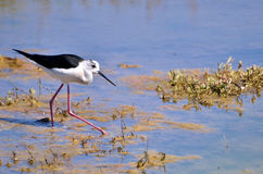 Black-winged Stilt in the marsh Royalty Free Stock Images