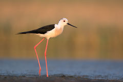 Black-winged Stilt in Morning Stock Photo