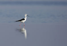Black-winged Stilt moving in water Royalty Free Stock Images