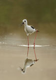 Black-winged Stilt moving in water Stock Photos