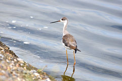 Black-winged Stilt in nature Royalty Free Stock Images
