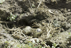 Black-winged Stilt nest with eggs / Himantopus himantopus Stock Photography