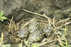 Black-winged stilt nest with eggs / Himantopus himantopus Royalty Free Stock Images