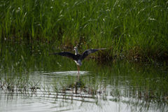 Black winged stilt with open wings Stock Photography