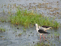 Black winged stilt pair in lake Chilika, India Stock Image