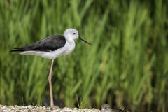 Black-winged stilt in profile. Black-winged stilt, also known as common stilt or pied stilt, (Himantopus himantopus), shown standing in perfect profile Royalty Free Stock Photography