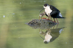 Black-winged stilt with puppy. Black-winged stilt portrait on green swamp background Stock Photo