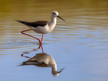 black winged stilt in reflecting water royalty free stock photography