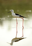 Black-winged Stilt and reflection Stock Photography